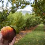 Eat Up! August is National Peach Month
