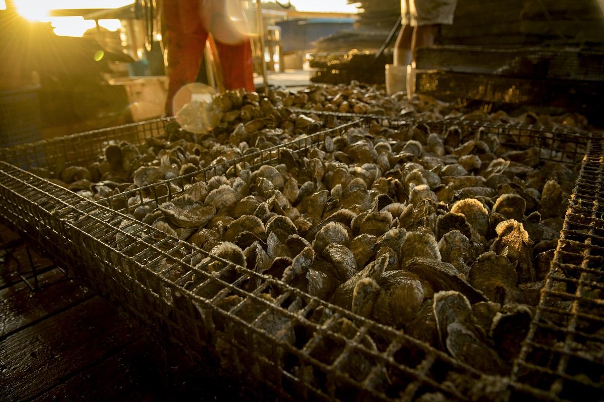 oyster harvesting