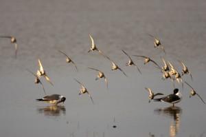 Shore birds of the Eastern Shore.