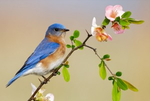The Eastern Bluebird feeds on fruits of elderberry, hackberry, flowering dogwood and more.