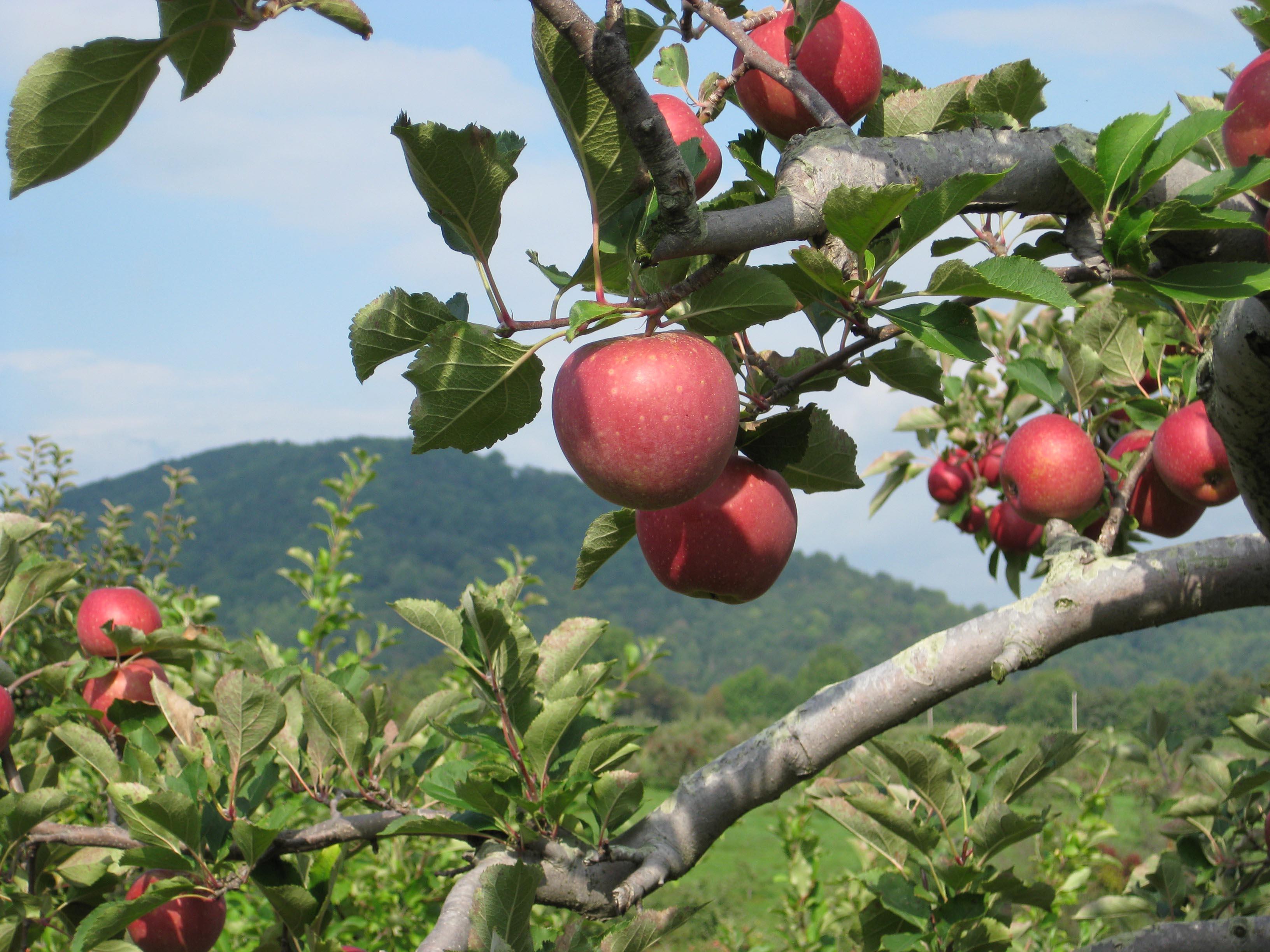 Graves Mountain Apples