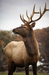 The Bellwood Elk
