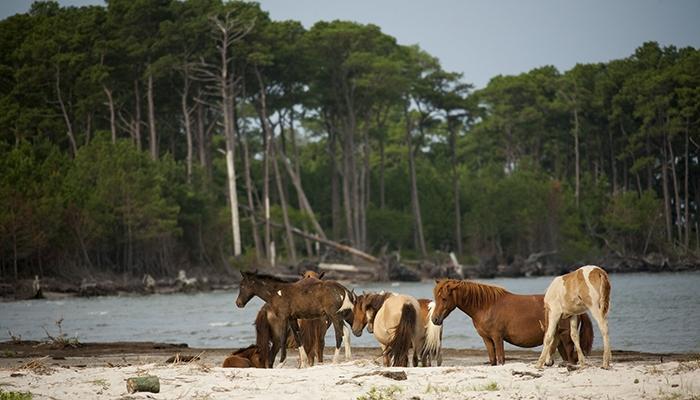 Assateague Island Pony Watching from the Assateague Channel