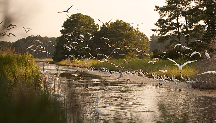 Assateague Shore Birds