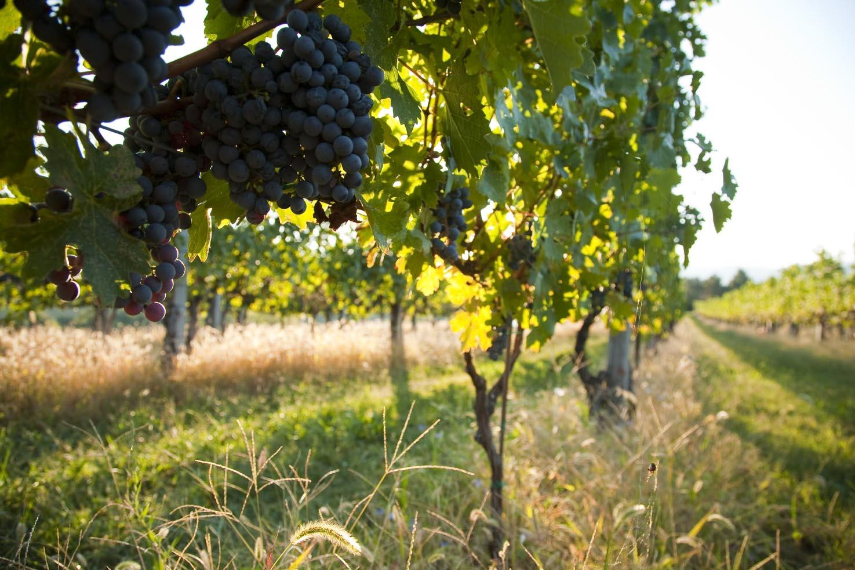 Afton Mountain Vineyards Harvest