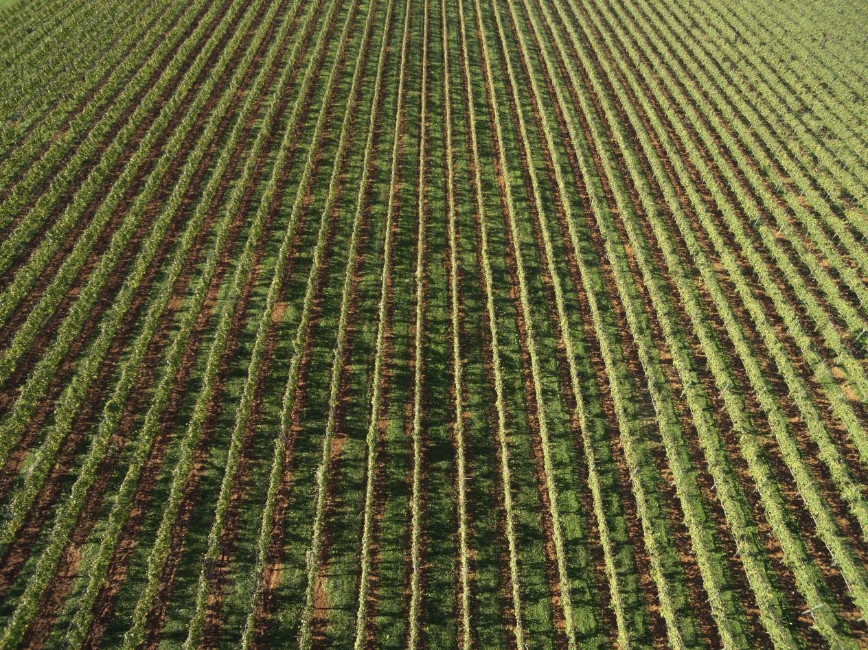 Virginia vines