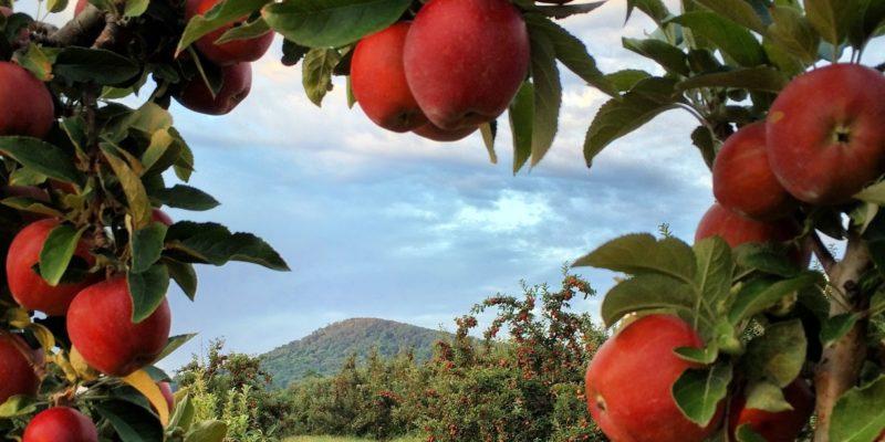 Scenic Winchester Apple Orchard